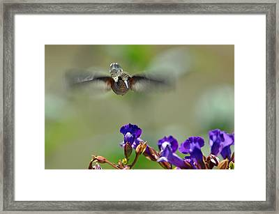 In Coming A Hummingbirds Story Framed Print by Laura Mountainspring
