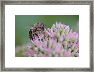 In Search Of Nectar Framed Print