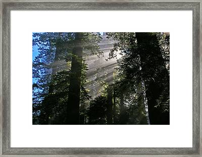 In The California Redwood Forest Framed Print
