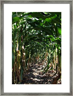 In The Corn  Framed Print