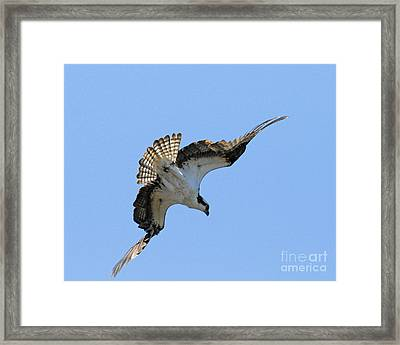 Framed Print featuring the photograph In The Dive by Alana Ranney