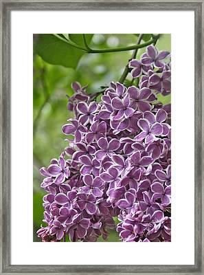 In The Garden. Lilac Framed Print by Ben and Raisa Gertsberg