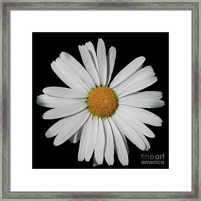 In The Spotlight White Daisy Framed Print