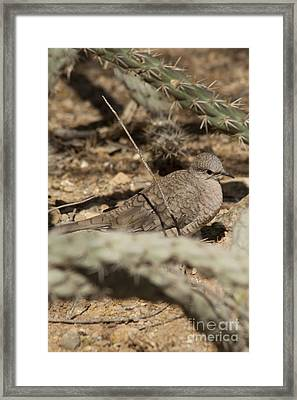 Framed Print featuring the photograph Inca Dove by Daniel Hebard