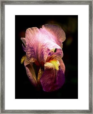 Incandescent Iris Framed Print by Jessica Jenney