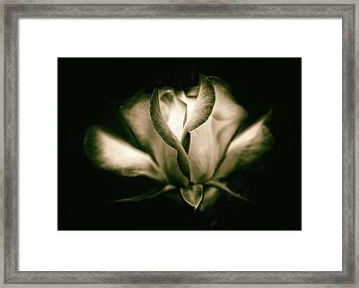 Incandescent Rose Framed Print