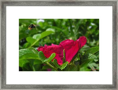 Incoming Rose Framed Print
