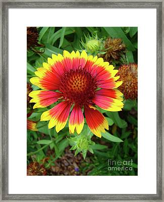 Indian Blanket Flower Framed Print