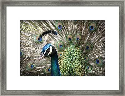 Indian Blue Peacock Puohokamoa Framed Print by Sharon Mau