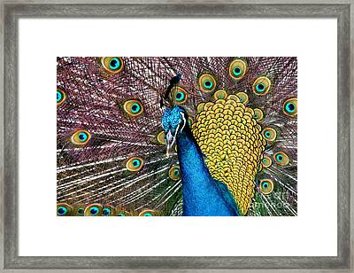 Indian Blue Peacock Framed Print