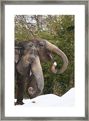 Indian Elephants Eating Snow Framed Print by Andrew  Michael