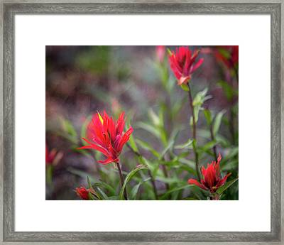 Indian Hawthorne Framed Print