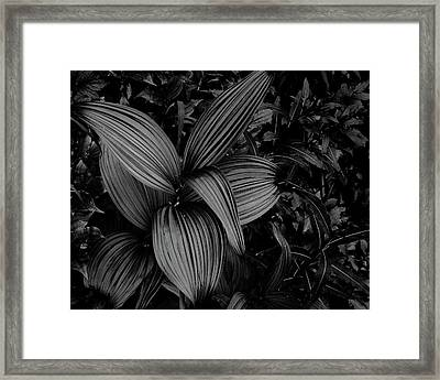 Framed Print featuring the photograph Indian Hellebore 1 by Trever Miller