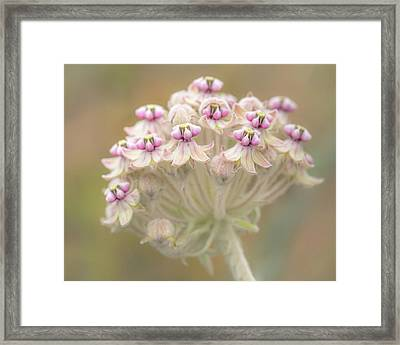 Framed Print featuring the photograph Indian Milkweed Flower Umbel by Alexander Kunz