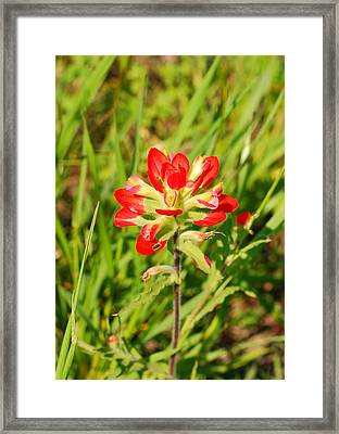 Indian Paintbrush Close Up Framed Print