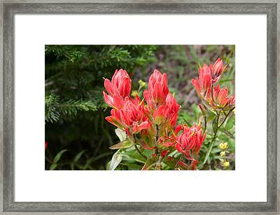 Indian Paintbrush Framed Print by Perspective Imagery