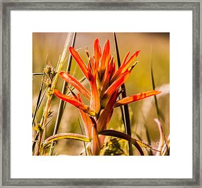 Indian Paintbrush Framed Print by Dennis Wagner