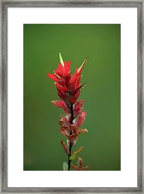 Indian Paintbrush - Marmot Basin Framed Print
