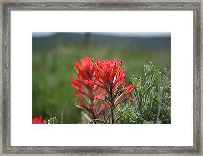 Indian Paintbrush Framed Print by Susan Pedrini