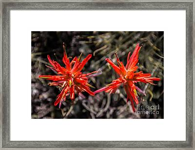 Indian Paintbrush Twins Framed Print by Dennis Wagner