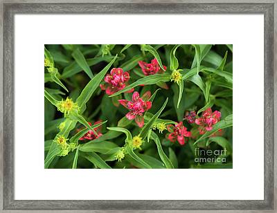 Indian Paintbrush Wildflowers Framed Print