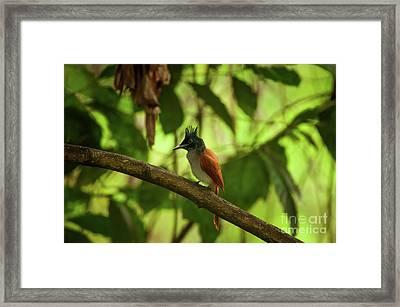 Indian Paradise Flycatcher Framed Print by Venura Herath