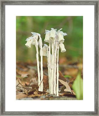 Indian Pipes Framed Print by JD Grimes