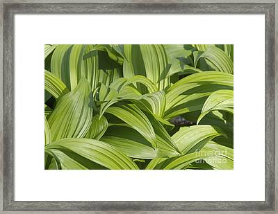 Indian Poke - Veratrum Veride-  Framed Print by Erin Paul Donovan