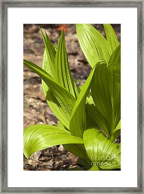 Indian Poke -veratrum Veride- Framed Print by Erin Paul Donovan