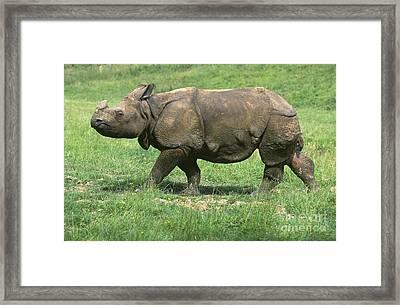 Indian Rhinoceros Framed Print