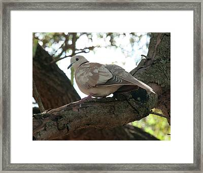 Framed Print featuring the photograph Indian Ringneck Dove by Chris Flees