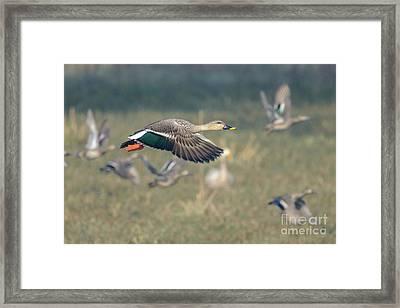 Indian Spot-billed Duck 01 Framed Print
