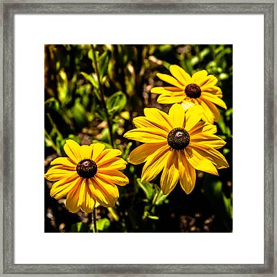 Indian Summer Gloriosa Daisy Framed Print
