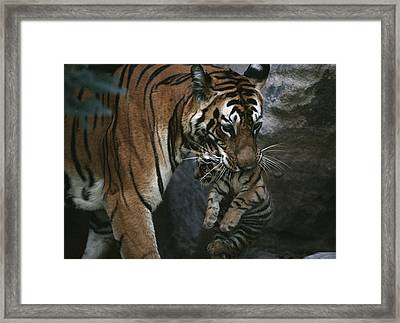 Indian Tigress, Sita, Moves Her Cubs Framed Print by Michael Nichols