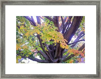 Indian Tree Framed Print by Kristine Nora