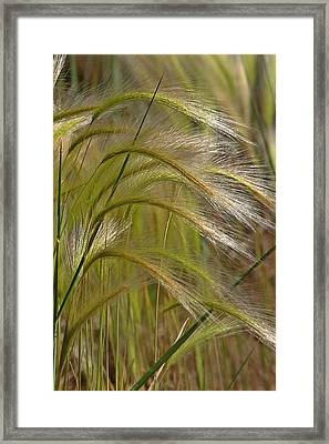 Indiangrass Swaying Softly With The Wind Framed Print