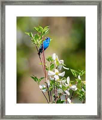 Indigo Bunting In Flowering Dogwood Framed Print
