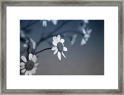 Indigo Daisies 1- Art By Linda Woods Framed Print by Linda Woods