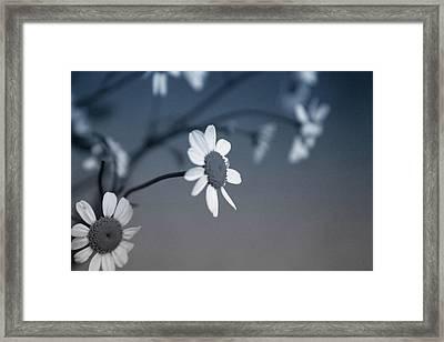 Indigo Daisies 1- Art By Linda Woods Framed Print