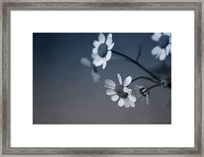 Indigo Daisies 2- Art By Linda Woods Framed Print