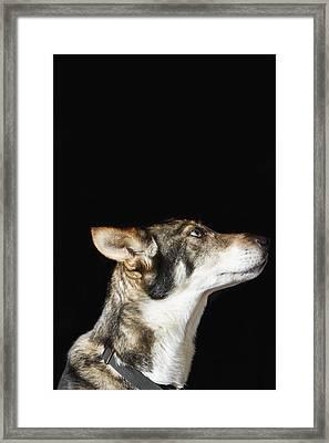 Indoor Close Up Portrait Of Iditarod Framed Print by Ann Matchett