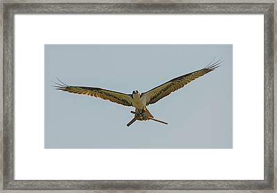 Industrious Osprey Framed Print