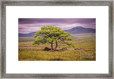 Ingleborough Tree Framed Print by Peter Stuart