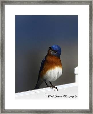 Inquisitive Bluebird Framed Print by Barbara Bowen