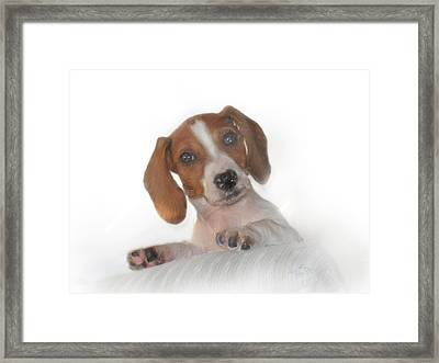 Framed Print featuring the photograph Inquisitive Dachshund by David and Carol Kelly