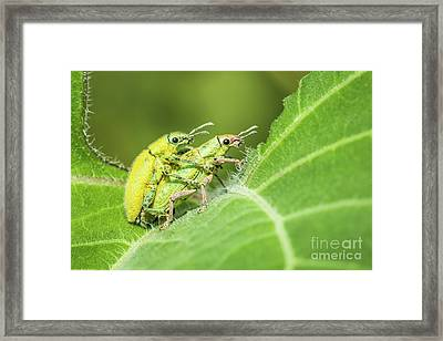 Framed Print featuring the photograph Insect Mating by Tosporn Preede