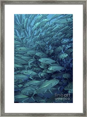 Inside Of A School Of Jack Fish, Cabo Framed Print by Brent Barnes