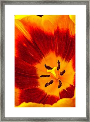 Inside Red And Yellow Tulip Framed Print by Garry Gay