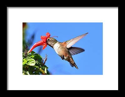 Allens Hummingbird Framed Prints