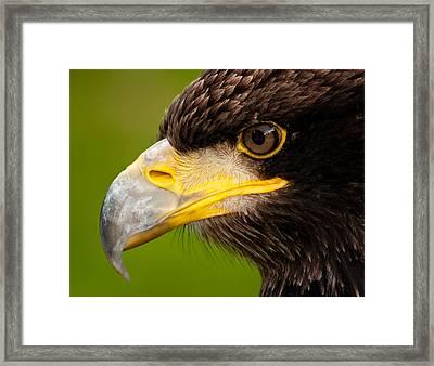 Intense Gaze Of A Golden Eagle Framed Print